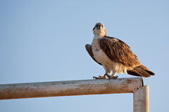 Fish hawk Royalty Free Stock Images