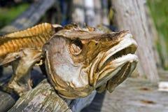 Fish head. Close up of a dried codfish head Royalty Free Stock Image