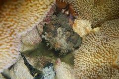 Fish head bocon toadfish Amphichthys cryptocentrus Royalty Free Stock Images