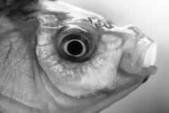 Fish head Royalty Free Stock Image