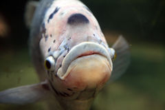 Fish head Royalty Free Stock Images