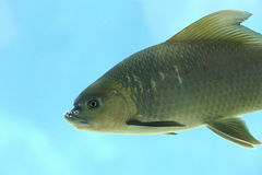 Fish head 3. Fish head in mangrove swamp Royalty Free Stock Photos
