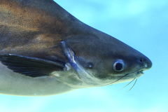 Fish head 2. Fish head in mangrove swamp Stock Photo
