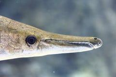 Fish head 1. Fish head in mangrove swamp Stock Photos