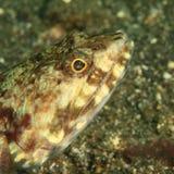 Fish - head of Reef lizardfish. Synodus variegatus in Lembeh Strait, North Sulawesi, Indonesia Stock Photo