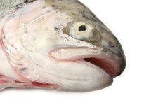 Fish head on white Royalty Free Stock Image