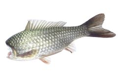 Fish without head on a white stock photography