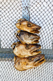 Fish heads Royalty Free Stock Image