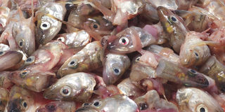 Fish heads Royalty Free Stock Photography