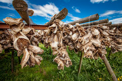 Fish heads drying on racks Stock Photos