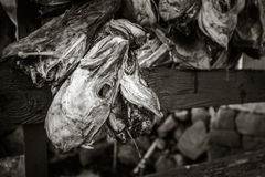 Fish heads in Norway Royalty Free Stock Photos