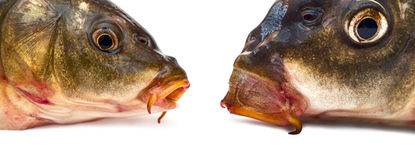 Fish heads. Two head of carp isolated on white background. Close-up Royalty Free Stock Photos