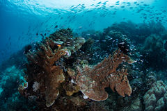Fish and Healthy Reef in Raja Ampat Stock Photos