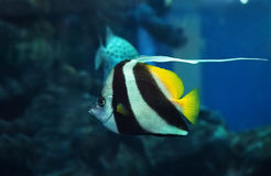 Fish Heniochus acuminatus at deep blue ocean near the corals Stock Photography