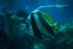 Fish Heniochus acuminatus at deep ocean Royalty Free Stock Photos