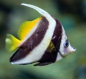 Fish - Heniochus diphreutes Stock Images