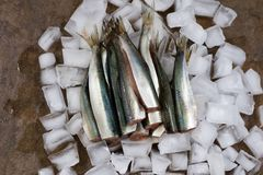 Fish herring on ice cubes. Tasty fresh fillet of herring on an i. Ce foundation. kitchen table Royalty Free Stock Image