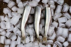 Fish herring on ice cubes. Tasty fresh fillet of herring on an i. Ce foundation. kitchen table Royalty Free Stock Photo