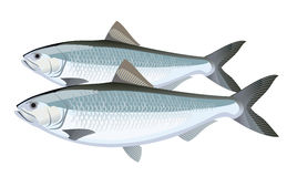 Fish. Herring Royalty Free Stock Photos