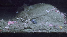 Fish hides in a seabed underwater in ocean of wildlife Philippines. stock footage