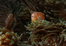 Fish hiding anemone aceh indonesia scuba diving royalty free stock photography