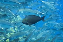 Fish hiding in a school of jacks, australia Royalty Free Stock Photography
