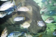 Fish and Hippopotomus. Fish and hippo underwater royalty free stock photography