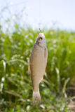 Fish on a hook. Live fish caught on a fishing hook against the background of a lake and green vegetation Stock Image