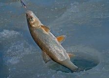 Fish on hook 11 Stock Photos