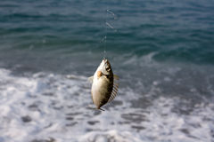 Fish on a hook Royalty Free Stock Photos