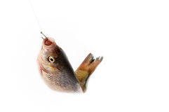 Fish on the hook. On a white background Royalty Free Stock Image