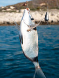 Fish on the hook. With baith royalty free stock images