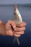 Fish on a hook. A raw bream on a hook шт fisherman's hand Stock Photos