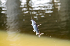 Fish On Hook. Royalty Free Stock Photo