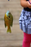 Fish on Hook. Close up view of a bluegill, Lepomis macrochirus, hanging from a fishing line by a fishing hook Stock Photos