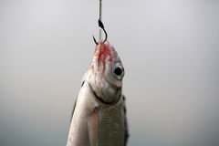 Fish on hook Stock Photography