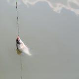 Fish on hook Royalty Free Stock Photo