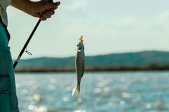 Fish on the hook. Fishing cord holding the fish Stock Photography