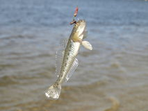 Fish on the hook Royalty Free Stock Image