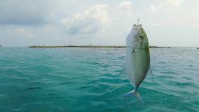Fish On A Hook. Freshly Caught Bluefin Jack Or Trevally Fish, Hanging On A Fishing Hook With A Cloudy Landscape Ocean Background On The Maldives royalty free stock images