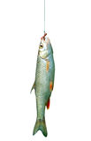 Fish on a hook isolated. On white background Stock Images