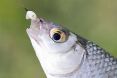 Fish on a hook Stock Photos