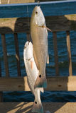 Fish on a hook. Red drum. Stock Photo
