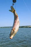 Fish on hook by the tail Royalty Free Stock Photo