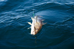 Fish on hook. In the water royalty free stock photos