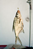 Fish on a hook on the winter ice fishing. Bream fish on a hook on the winter ice fishing Royalty Free Stock Photo