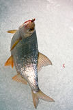 Fish on a hook on the winter ice fishing. Caught on the ice of winter roach fishing on ice Stock Photos