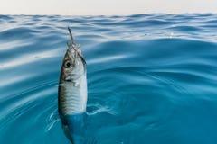 Fish hooked.  Stock Photos