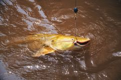 Fish hooked by a fisherman on the water surface. Fish known as J. Au. Photo taken in Pantanal, Brazil Royalty Free Stock Photography