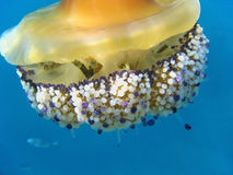 Fish house. Fried egg jellyfish with hiding fish inside, Mediterranean sea, France Royalty Free Stock Image
